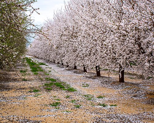 Almond-Trees-In-Orchard