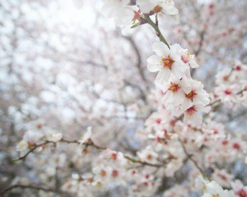 Branch of spring almond tree flower.