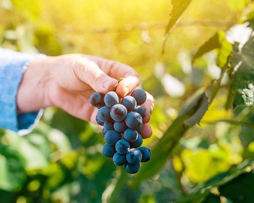 female-viticulturist-harvesting-grapes