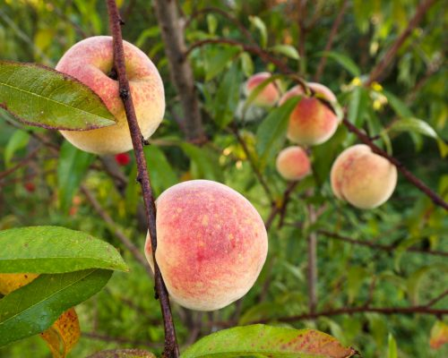Ripe fruits from the peach tree. Close up